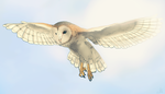 Barn Owl by DarkMasterOfDragons