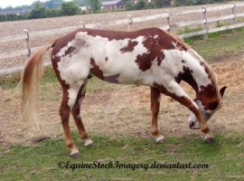 Paint Horse 33 by EquineStockImagery