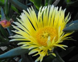 Yellow Edible Hottentot Fig by floramelitensis