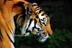 Tiger . . .. by light-from-Emirates
