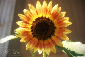Sun Flower 02 by MiaLeePhotography