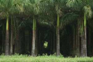 palm forest by beef-stalk