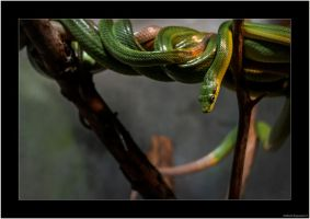 Red-tailed Green Ratsnake by AmbientExposures