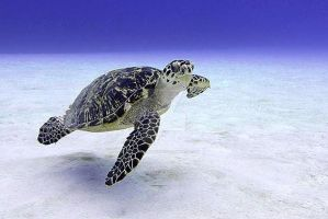 Caribbean Sea Turtle by ScribbleSoftly