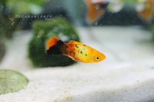 Plato, my sunburst platy by thebreat