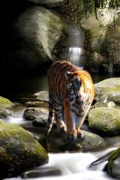 Bailey's Tiger by x3OxyMoron
