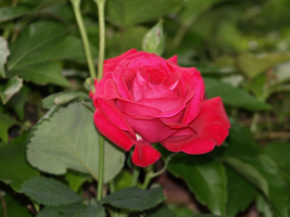 A Red Rose by Danferno