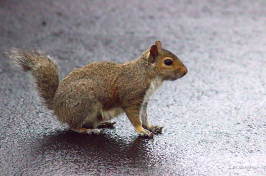 Squirrel on Pavement by Amarantheans