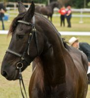 Partbred Friesian Headshot 005 by AmoretteRose