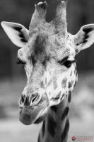 Portrait of a Giraffe, (bw) by Ravenith