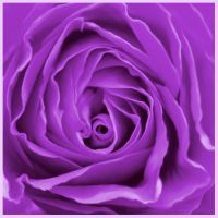 Purple Rose by MariamMohammed