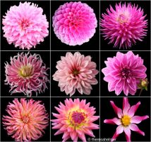 Pink Dahlias (from my garden) by theresahelmer