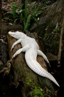 Albino Alligator by greenappaloosa