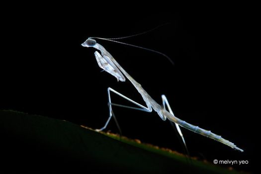White Mantis Nymph by melvynyeo