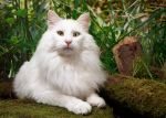 cat Norwegain Forest Cat by shirleymaurine