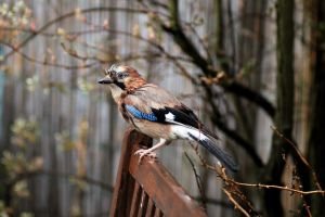 Eurasian Jay  or known as Garrulus glandarius by pagan-live-style