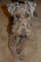Welsh Terrier_THE DOG Style by 10000Greetings