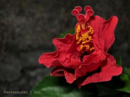 hibiscus in red by pusakal1402