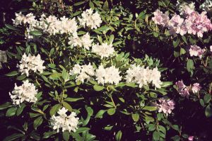 Photo: Rhododendrons by Mariesen