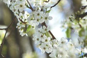 Flowering Pear Tree by RainOfDragon