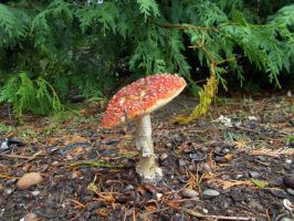 Fly Agaric by ohallford