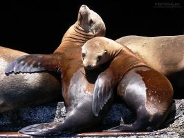 Wild Sea Lion Buddies by RandomTechie27