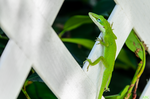 Inquisitive Anole by Tyrannax