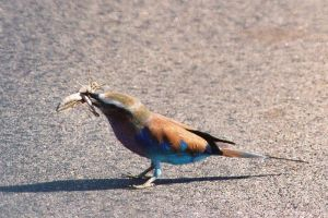 Lilac Breasted Roller + Locust by AfricanObserver