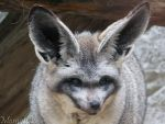 Bat-eared fox portrait by Momotte2