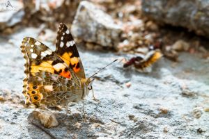 Butterfly Vanessa cardui by VitoDesArts