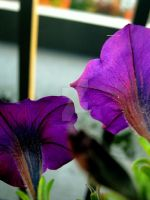 Bright Purple Petunias by Sing-Down-The-Moon