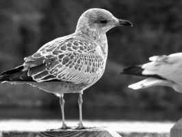 Little Seagull Black and White by UnbrokenSaviour