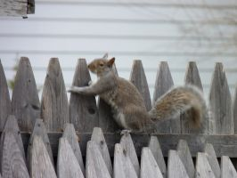 Squirrel on the Fence by LW-Lucy