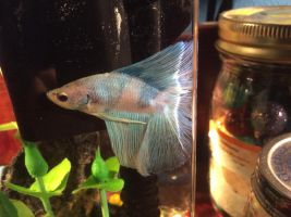 Lucifer my new fish by crankycobra