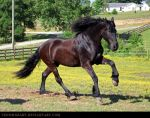 friesian 1 by venomxbaby