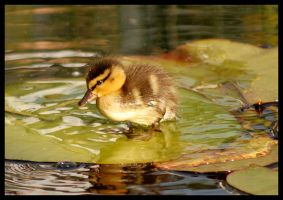 little duck II by slawomirj