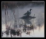 Canada Geese in Morning Fog by boron