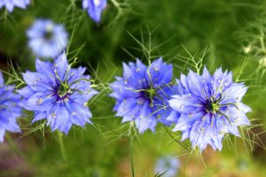 Love-in-a-mist x3 by chris-stahl