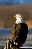 Bald Eagle by softflower