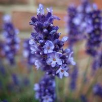 Lavender by Weissglut