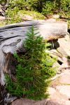 Baby Conifer by Theos-Kengen