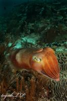 cuttle fish2 by aquanauts74