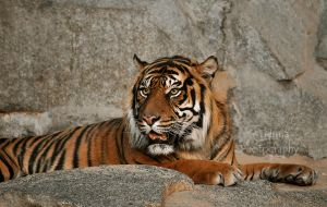 Sumatran Tiger by Tienna
