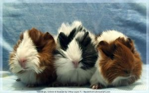 Three Guinea Pigs by RavenEvert