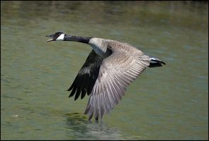 Goose by FrankAndCarySTOCK