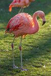 Flamingo by Fotostyle-Schindler