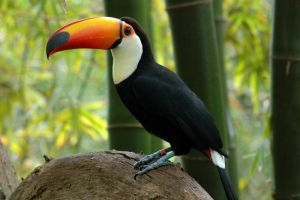 Toco Toucan by mentaldragon