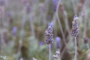 Lavender by FortySixand2Photos