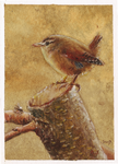 aceo wren by kailavmp