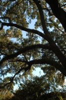 Spanish Moss and Old Oaks 2 by ImaginingJackie